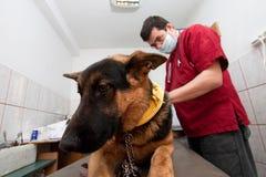Berger allemand au vétérinaire Images stock