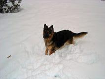 Berger allemand aux cheveux longs Dog dans la neige Photographie stock libre de droits