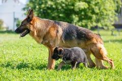 Berger allemand avec ses chiots se reposant sur l'herbe Image libre de droits