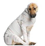 Berger allemand dans des bandages Photo libre de droits
