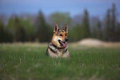 Berger allemand dans l'herbe photo stock