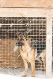 Berger allemand dans la cage en hiver photo stock