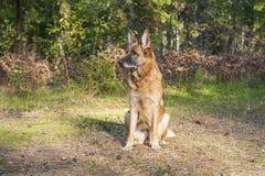 Berger allemand dans la forêt Photos libres de droits