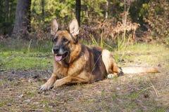 Berger allemand dans la forêt Photo stock