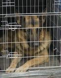 Berger allemand dans une cage de véhicule. Photographie stock