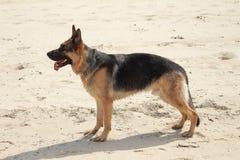 Berger allemand de chien dans les dunes Photographie stock libre de droits