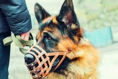 Berger allemand de race de chien dans un museau Formant un animal à présenter aux gens Image modifiée la tonalité photo stock
