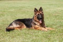 berger allemand de race Dog sur un fond vert Image libre de droits
