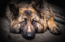 Berger allemand Dog Images libres de droits