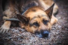 Berger allemand Dog Images libres de droits