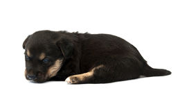 Berger allemand Dog Photographie stock