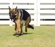 Berger allemand Dog Photo libre de droits