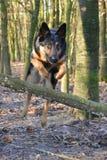 Berger allemand Dog image libre de droits
