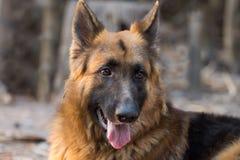 Berger allemand Dog Photos stock