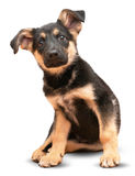 Berger allemand Dog Photos libres de droits