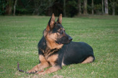 Berger allemand Dog Photo libre de droits