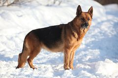 Berger allemand Dog photos stock