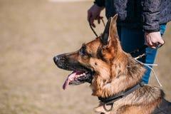 Berger allemand Dog Near Woman de Brown Alsacien Wolf Dog image stock