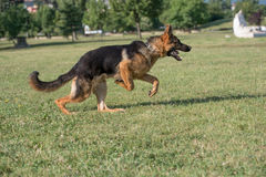 Berger allemand Dog Running Through l'herbe images stock