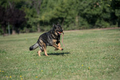 Berger allemand Dog Running Through l'herbe photo stock