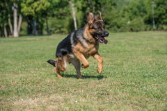 Berger allemand Dog Running Through l'herbe photographie stock