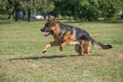 Berger allemand Dog Running Through l'herbe image libre de droits