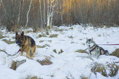 Berger allemand et costaud sibérien marchant dans la forêt d'hiver Photographie stock libre de droits