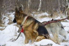 Berger allemand et costaud sibérien marchant dans la forêt d'hiver Photo libre de droits
