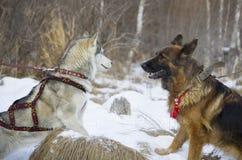 Berger allemand et costaud sibérien marchant dans la forêt d'hiver Image stock
