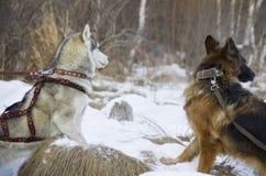 Berger allemand et costaud sibérien marchant dans la forêt d'hiver Images stock