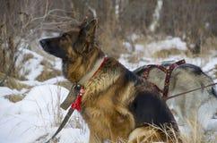 Berger allemand et costaud sibérien marchant dans la forêt d'hiver Photo stock