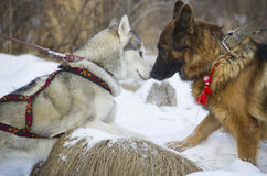 Berger allemand et costaud sibérien marchant dans la forêt d'hiver Photos stock