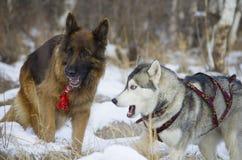 Berger allemand et costaud sibérien marchant dans la forêt d'hiver Images libres de droits