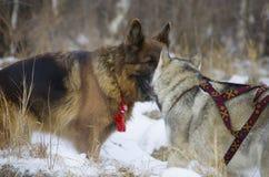 Berger allemand et costaud sibérien marchant dans la forêt d'hiver Photographie stock