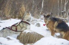 Berger allemand et costaud sibérien marchant dans la forêt d'hiver Image libre de droits