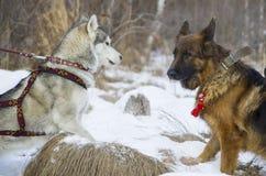 Berger allemand et costaud sibérien marchant dans la forêt d'hiver Photos libres de droits