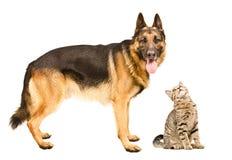 Berger allemand et un droit écossais de chat curieux Images libres de droits