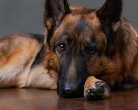 berger allemand Le chien est bouleversé que le propriétaire soit allé images stock