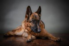 berger allemand Le chien est bouleversé que le propriétaire soit allé images libres de droits