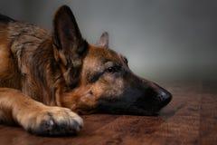 berger allemand Le chien est bouleversé que le propriétaire soit allé photo stock