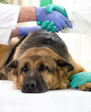 Berger allemand malade au vétérinaire images stock