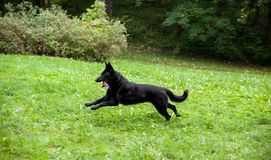 Berger allemand noir Dog Running sur l'herbe Ouvrez la bouche, langue  Image libre de droits