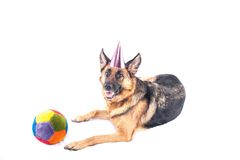Berger allemand Party Dog Image stock