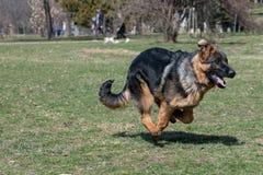 Berger allemand Running Through l'extérieur d'herbe photo stock