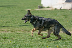 Berger allemand Running Through l'herbe photo stock