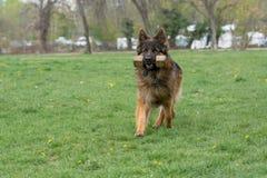 Berger allemand Running Through l'herbe image libre de droits