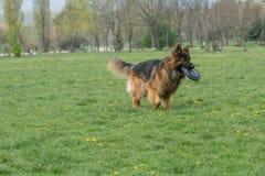 Berger allemand Running Through l'herbe photos libres de droits