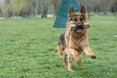 Berger allemand Running Through l'herbe photo stock