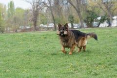 Berger allemand Running Through l'herbe photo libre de droits