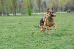 Berger allemand Running Through l'herbe images libres de droits